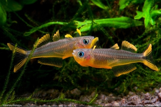 Two male furcata rainbows