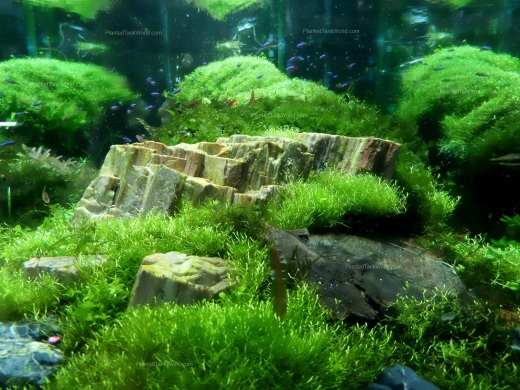 Petrified Wood Aquascape with Riccia Carpets