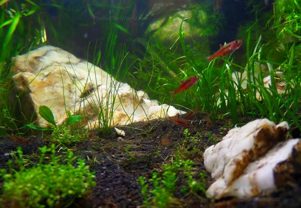 "11.3 Gallon – ""Death Mountain"" – Chili Rasbora, shrimp ..."