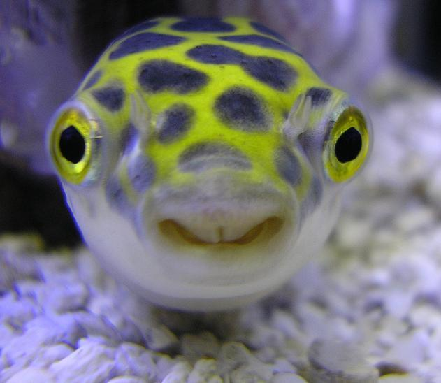 Green spotted puffers tetraodon nigroviridis my world for How much is a puffer fish