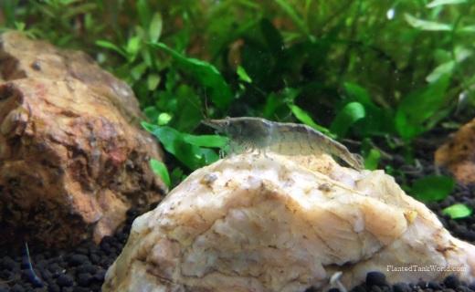 Blueberry Shrimp 6