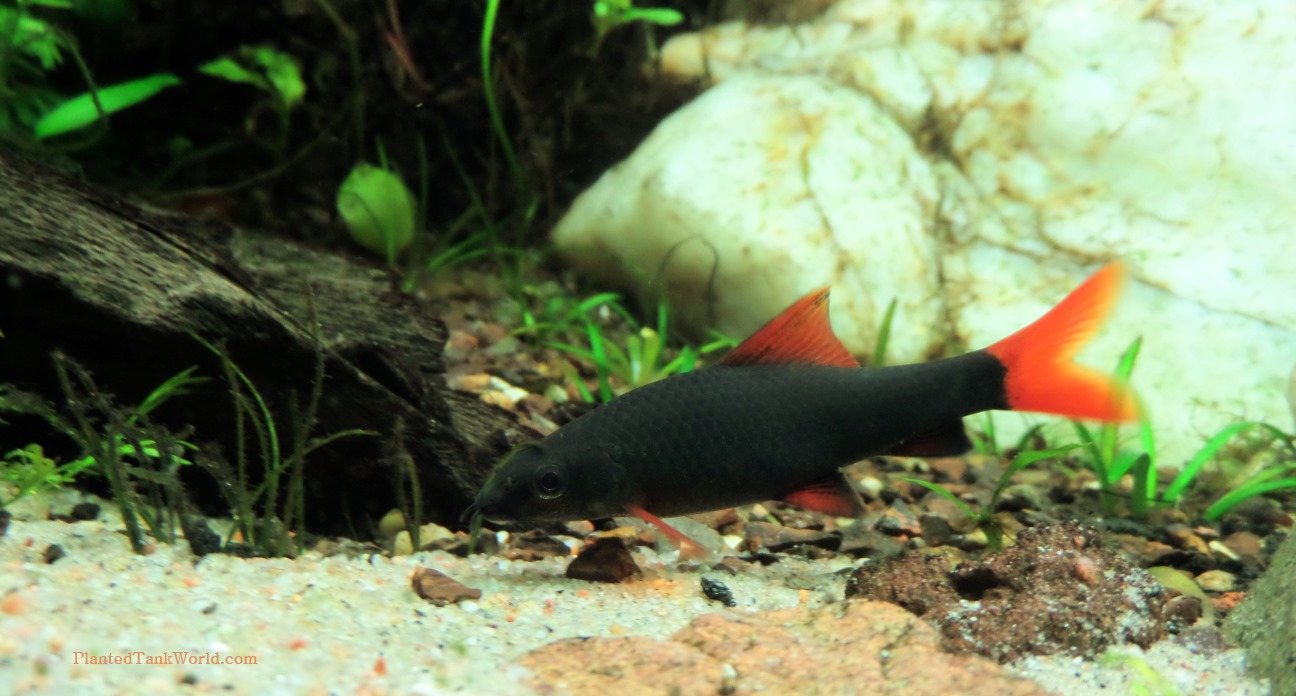Freshwater aquarium fish rainbow shark - Watching Her Munch On Every Leaf And Wood Surface Around Is Also Rather Adorable I D Never Really Seem A Creature Forage The Way That The Rainbow Shark