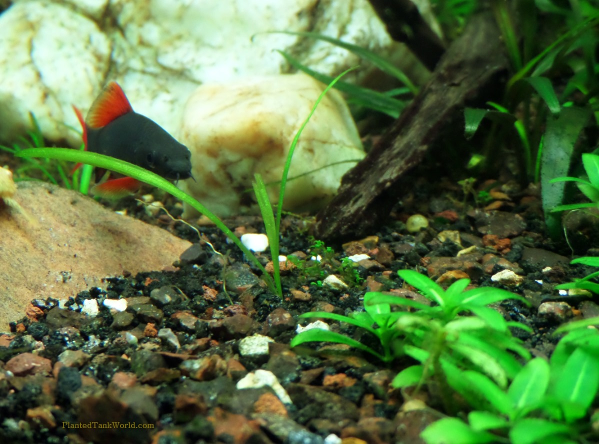 Freshwater aquarium fish rainbow shark - Breeding Rainbow Shark Hasn T Been Well Documented Or Recorded In The Aquarium Setting But I M Still Tempted To Try Adding A Second Rainbow Shark In The