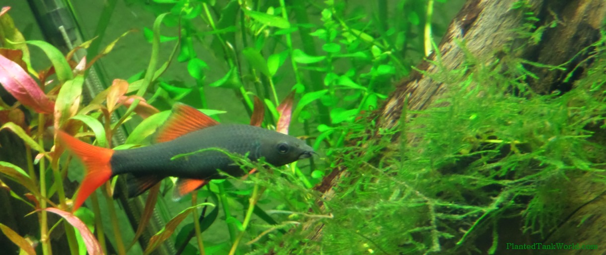 Rainbow Shark (Epalzeorhynchos frenatum) My World of Planted ...