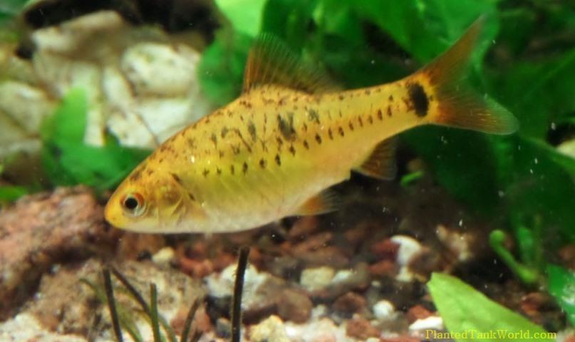 Gold barb puntius semifasciolatus my world of planted for Gold barb fish