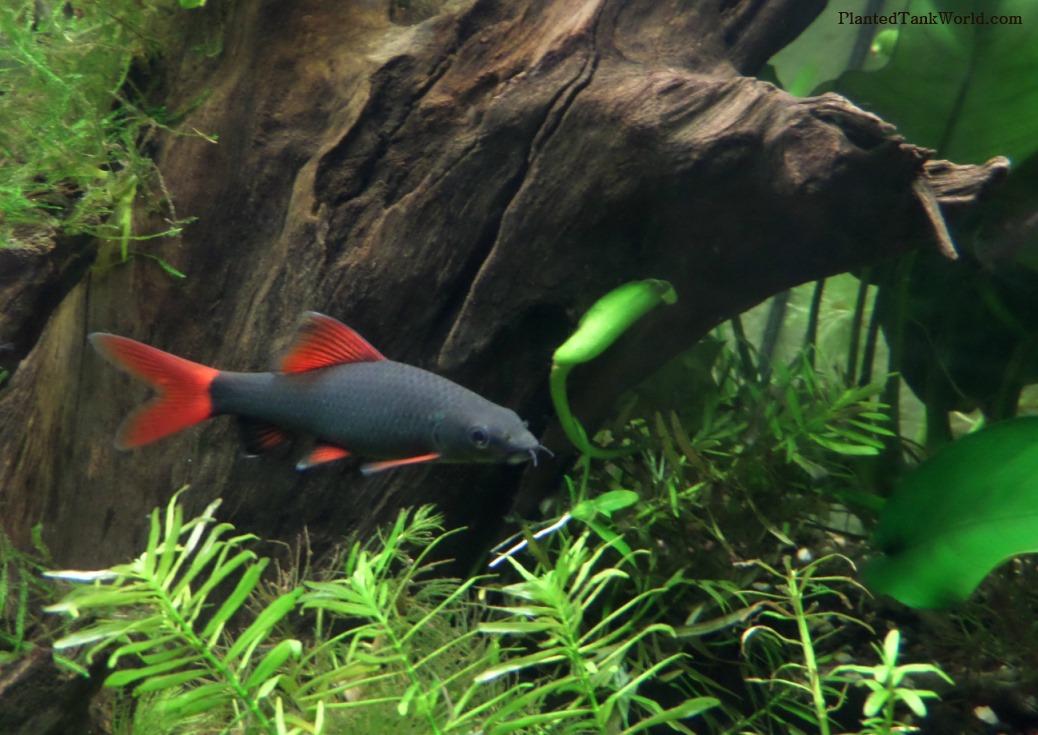 Rainbow shark epalzeorhynchos frenatum my world of for Rainbow shark fish
