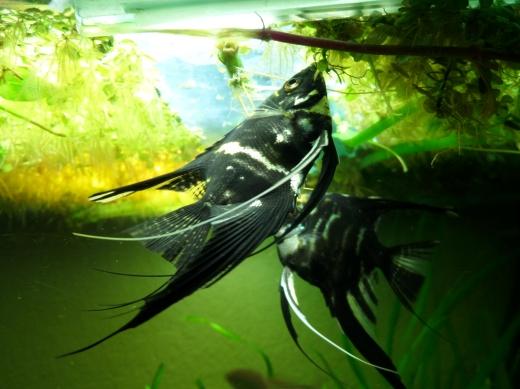 Beautiful Angel fish.