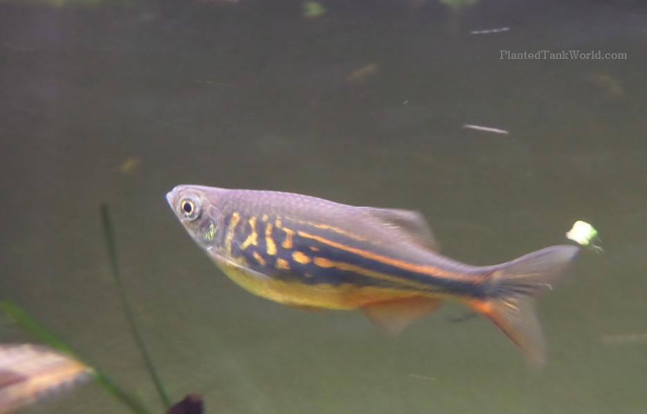Giant danio devario aequipinnatus my world of planted for Giant danio fish