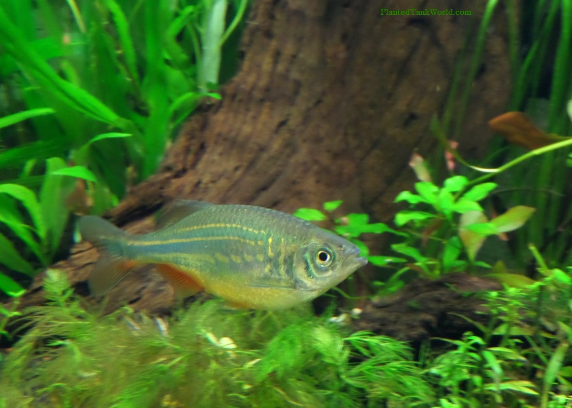 Giant Danio (Devario aequipinnatus) My World of Planted Freshwater ...