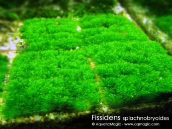 Fissidens
