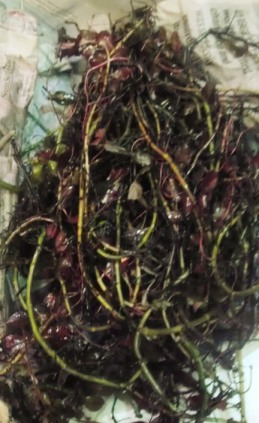 A tangled mess of ludwigia