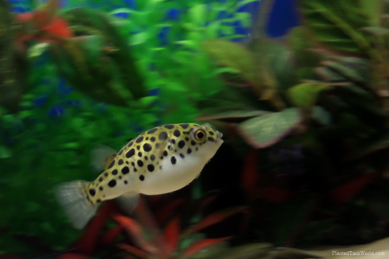 Improving a Green Spotted Puffer Habitat - Homemade Rock Decor My ...
