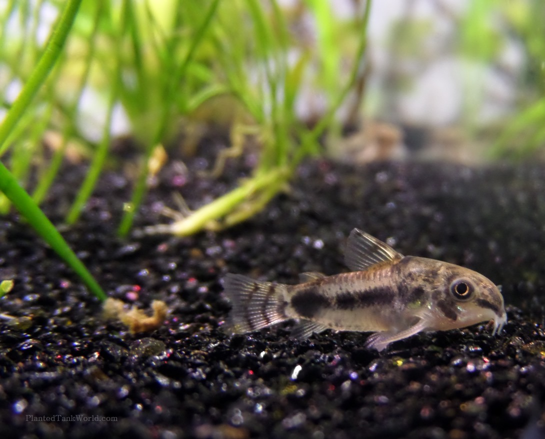 Salt And Pepper Catfish (Corydora Habrosus)