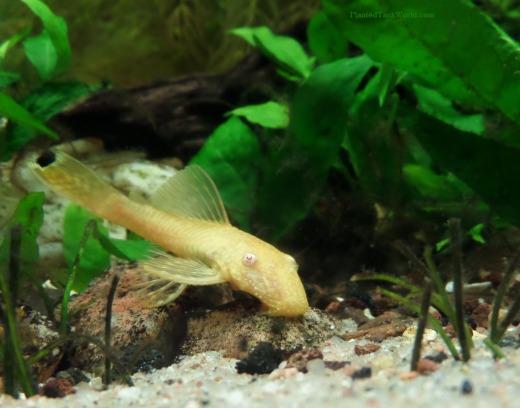 A young female BN pleco