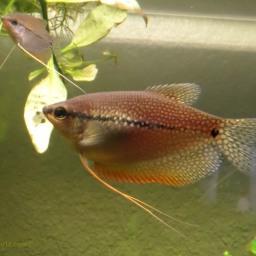 Female Pearl Gourami