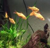Gold Barbs 2