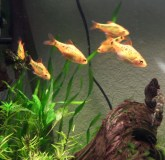 Gold Barbs 2