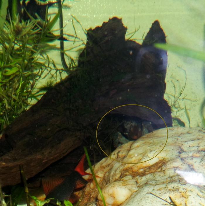Vampire shrimp atya gabonensis my world of planted for Vampire fish for sale
